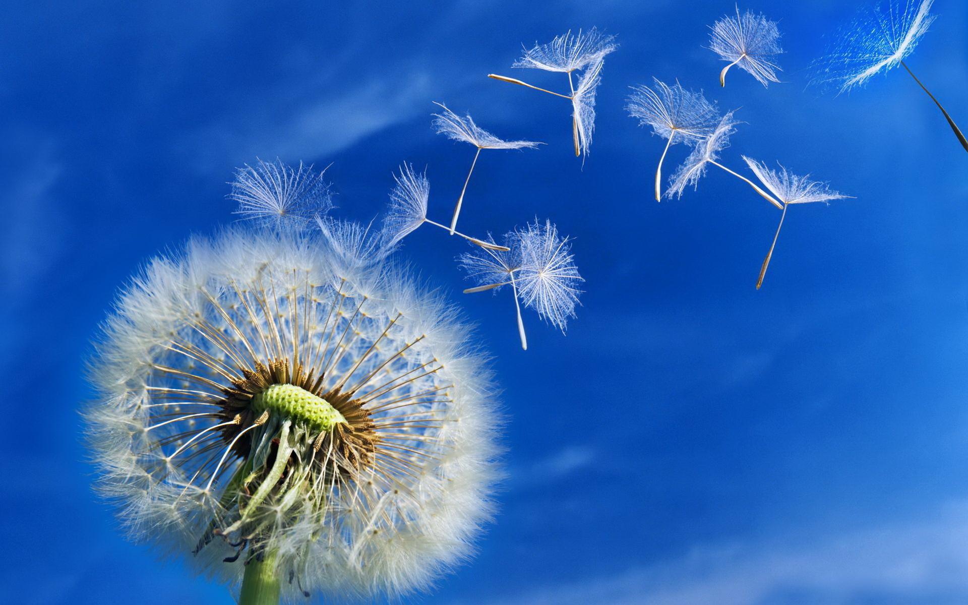 Dandelion Flower Picture