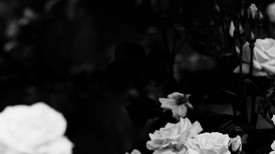 Black, Laptop, Rose, Wallpaper, White