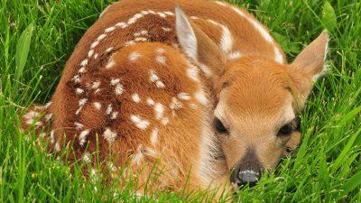 Baby, Brown, Deer, Sleeping, Wallpaper
