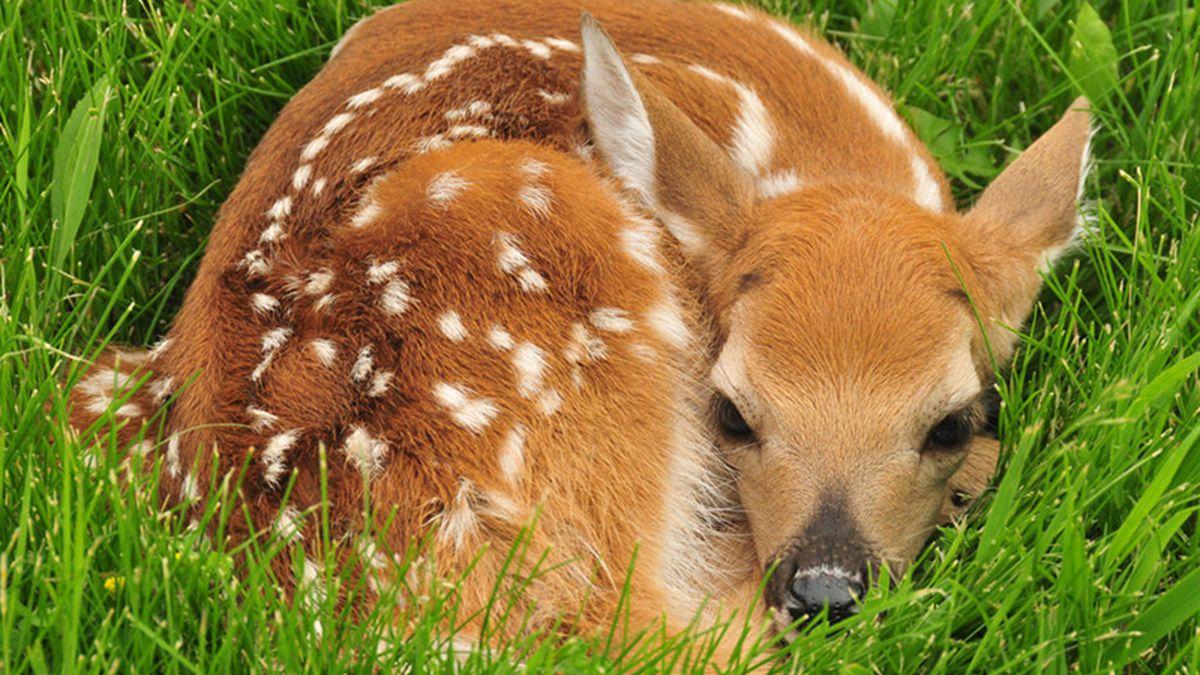 Baby Deer Picture