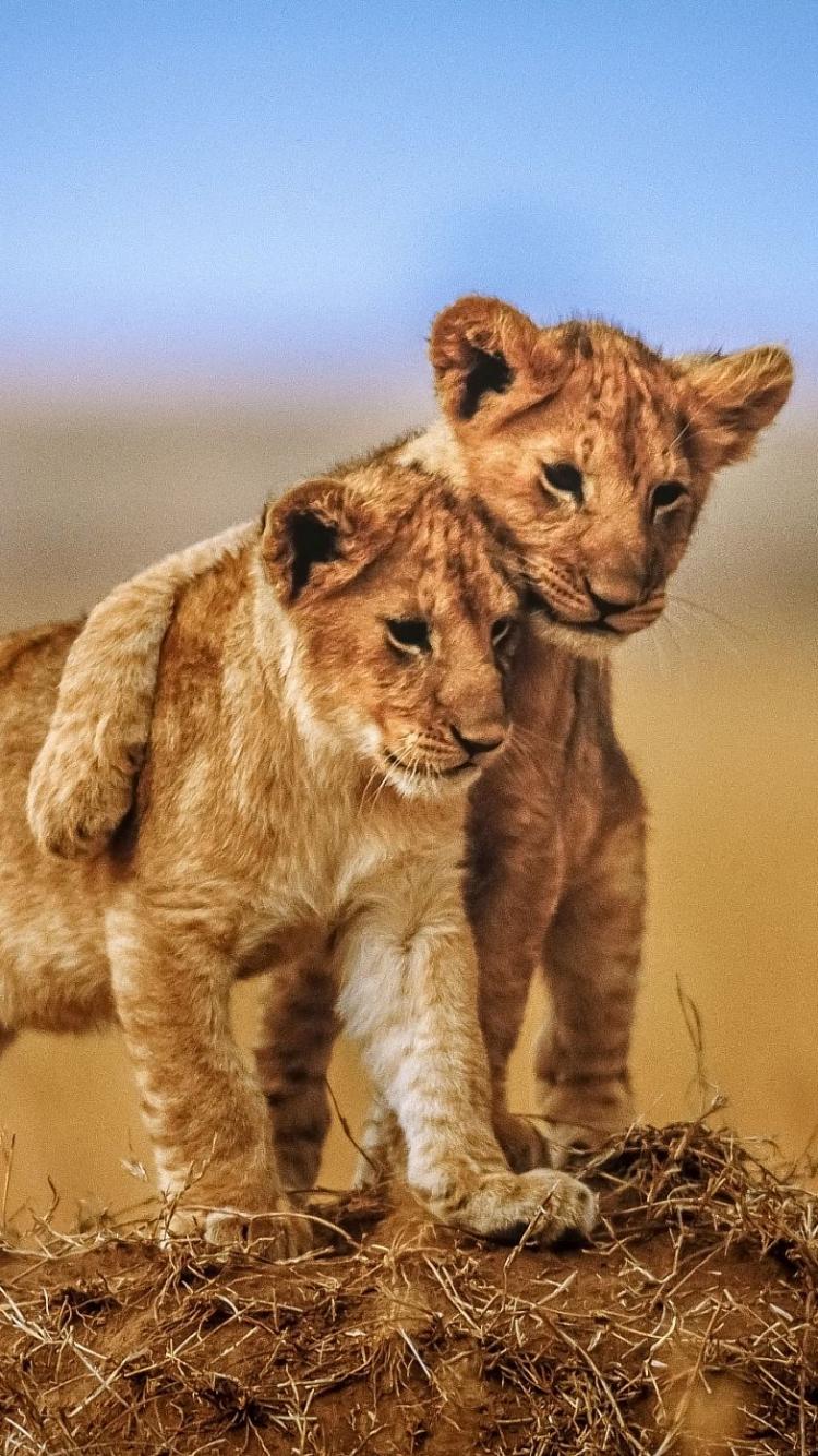 Baby Lion