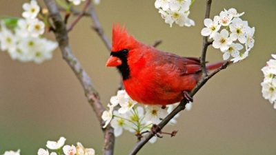 Beautiful, Bird, Cardinal, Image, Red