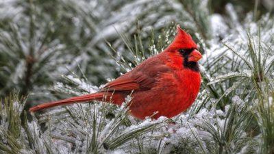 Awesome, Bird, Cardinal, Image, Natural