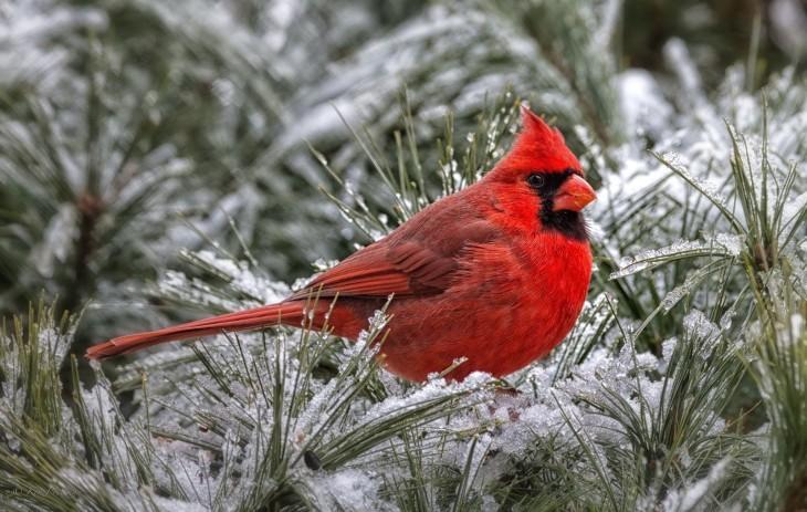 Cardinal Image