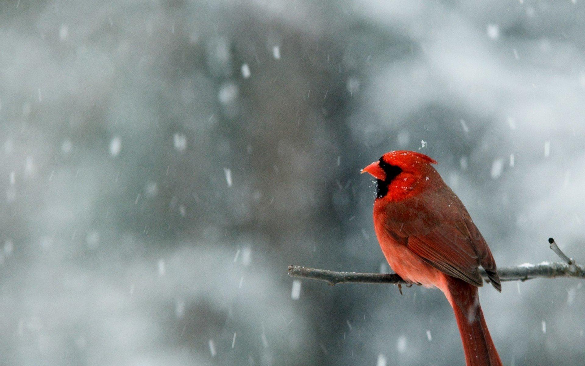 Cardinal Backgrounds
