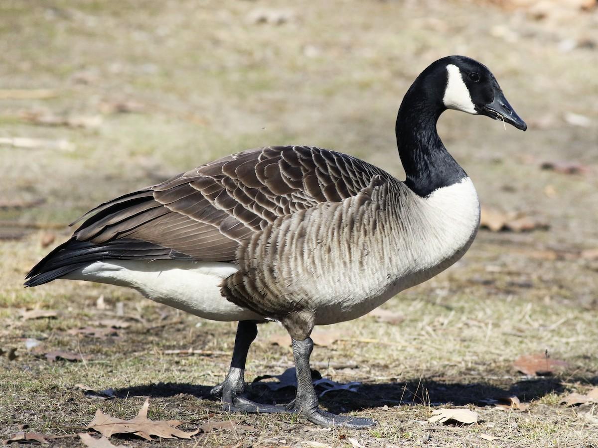 Goose Picture