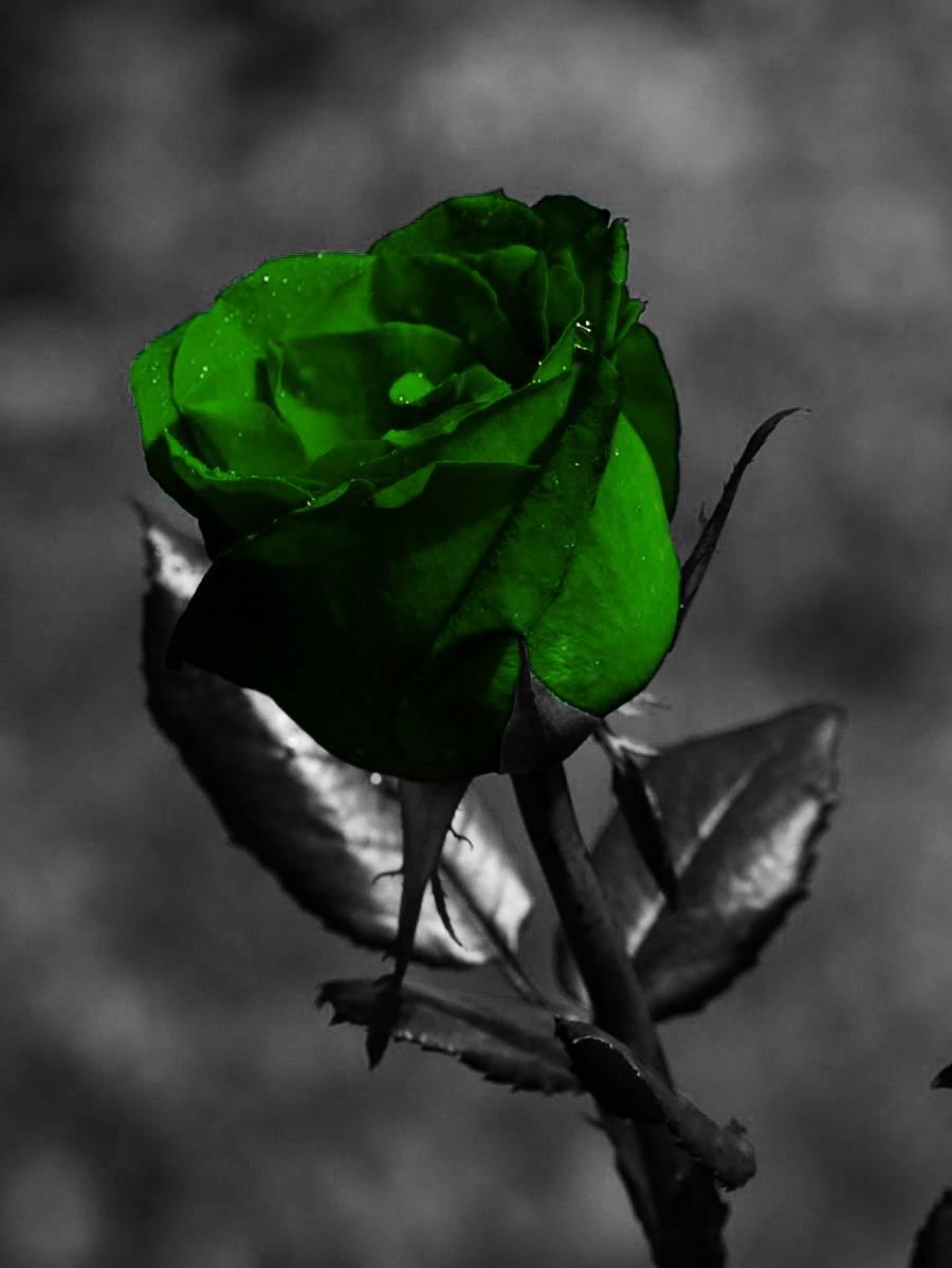 Green Rose Image