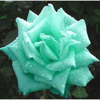 Green Rose Photo