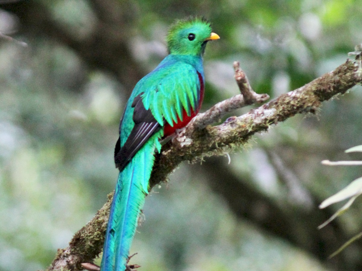 Quetzal Image