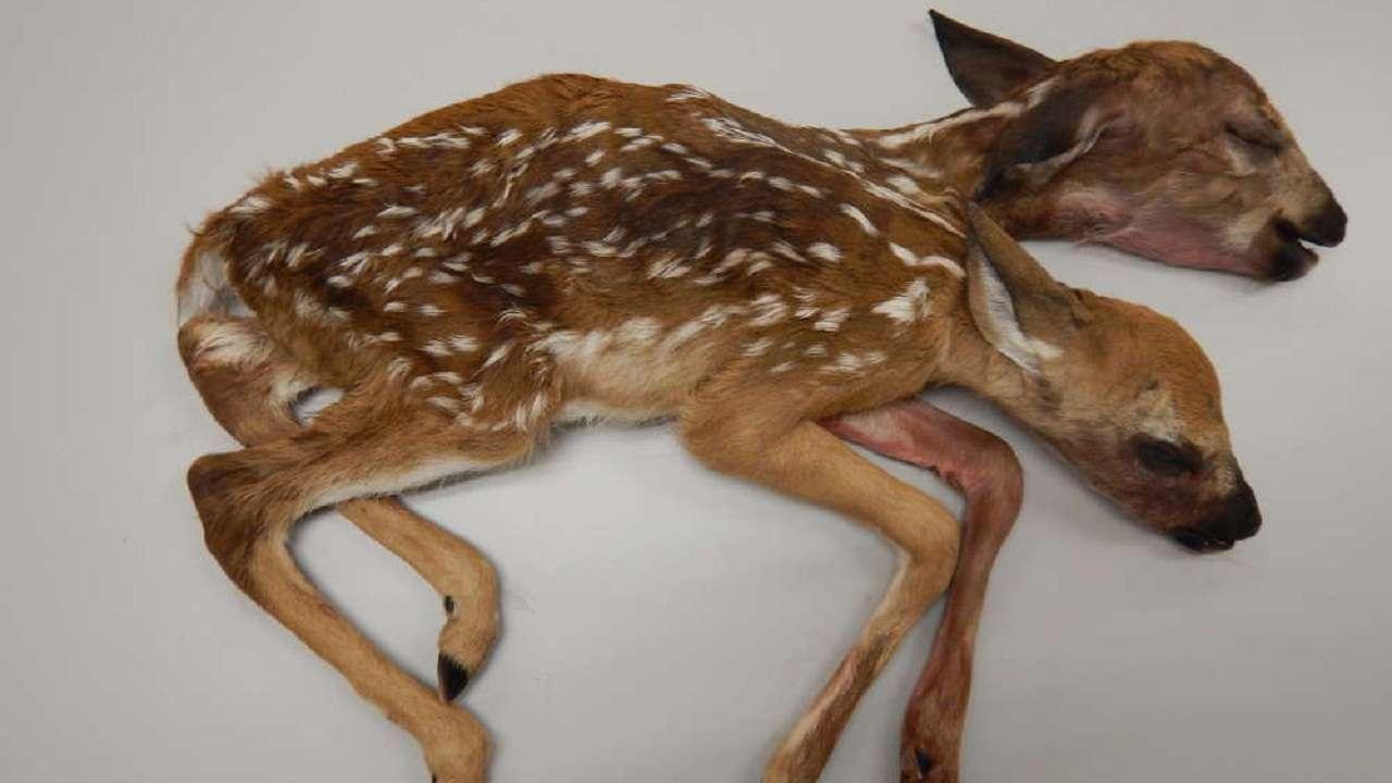Baby Deer Image