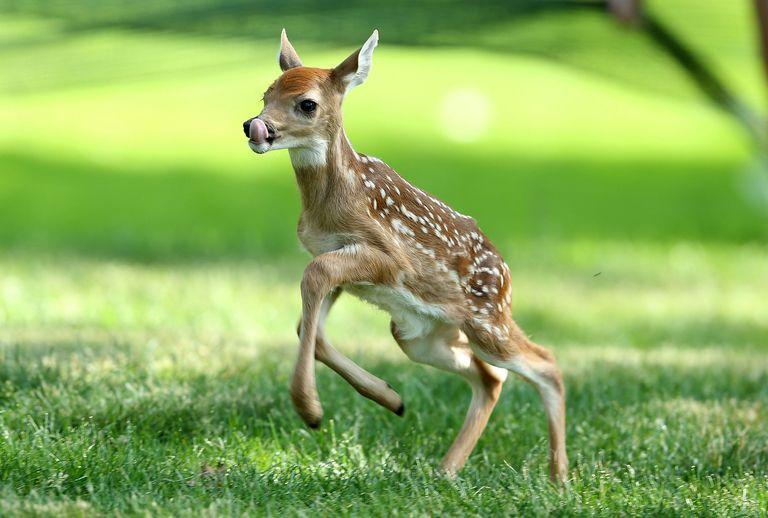 Baby Deer Backgrounds