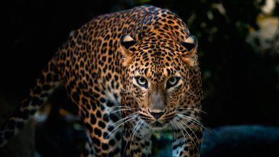 Best, Eyes, Jaguar, Wallpaper, Wonderful