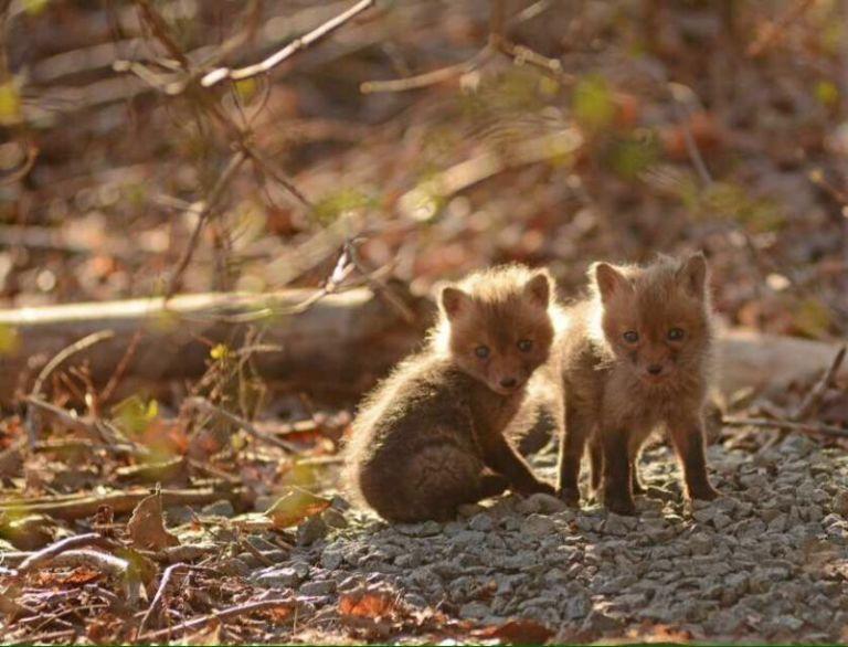 Baby Fox Image