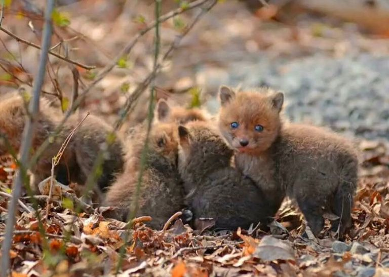 Baby Fox Photo