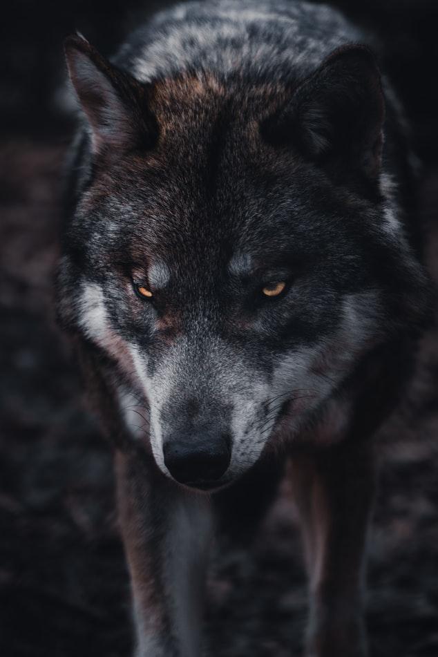 Wolf Photo