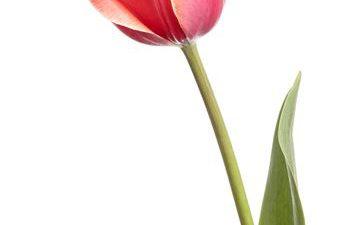 Background, Flower, Pink, White