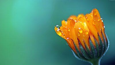 Free, Image, Marigold, Natural, Сalendula