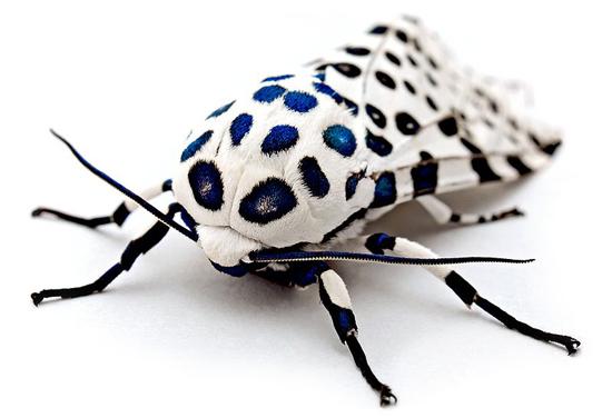 Leopard Moth Image