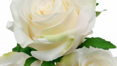 Image, Rose, Super, White, Wonderful