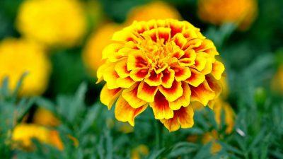 Amazing, Image, Marigold, Nature, Сalendula