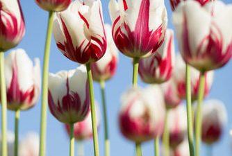 Best, Flower, Image, Nature, Tulip, Widescreen
