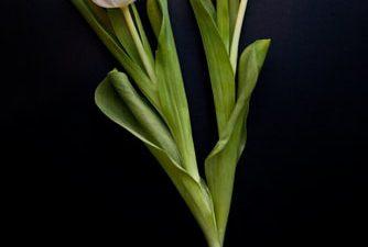 Flower, Image, Landscape, Nature, Tulip