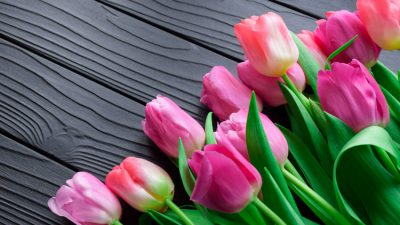 Amazing, Flower, Pink, Tulip, Wallpaper