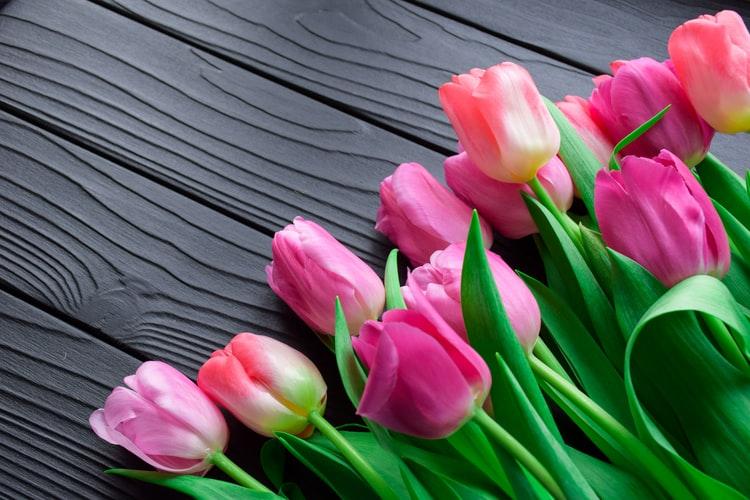 Tulip Flower Backgrounds
