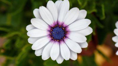 Cape, Daisy, Flower, Image, White