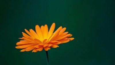Image, Lovely, Marigold, Natural, View, Сalendula