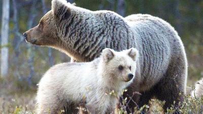 Bear, Image, Two, White