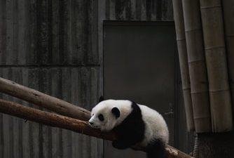 Background, Black, Free, Natural, Panda