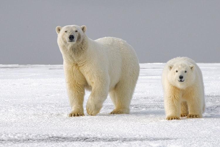 White Bear Wallpapers