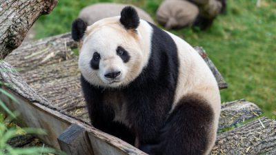 Grass, Green, Image, Natural, Panda, Widescreen