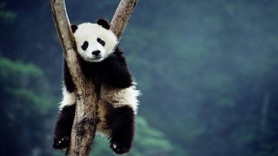 Animal, Colorful, Image, Panda, Super