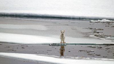 Fox, Free, Image, Natural, Sea, White