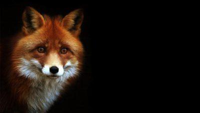 Animal, Best, Fox, Wallpaper