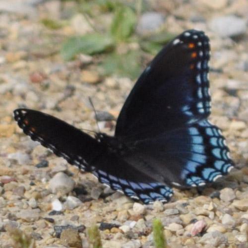Black Butterfly Backgrounds
