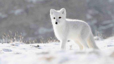 Fox, Image, Natural, Nice, View, White