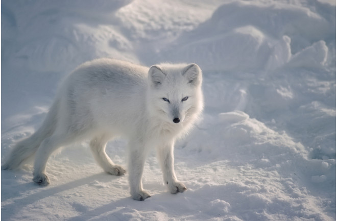 White Fox Image
