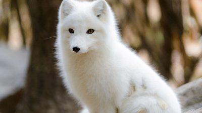 Amazing, Fox, Image, Natural, White