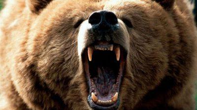 Bear, Danger, Wallpaper, Wonderful