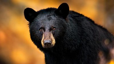 Bear, Black, Full, Great, Image