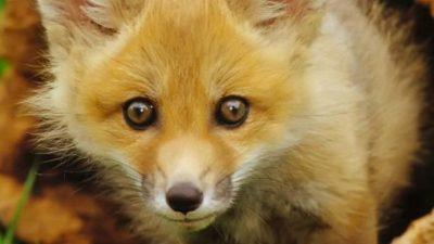 And, Fox, Wallpaper, White, Yellow