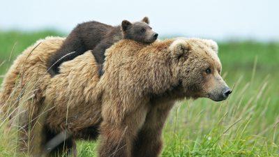 Background, Bear, Field, Natural, Super