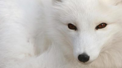 Animal, Fox, Wallpaper, White