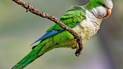 Beautiful, Image, Monk, Natural, Parrot