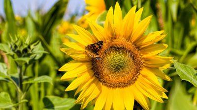 Beautiful, Field, Image, Natural, Sunflowers