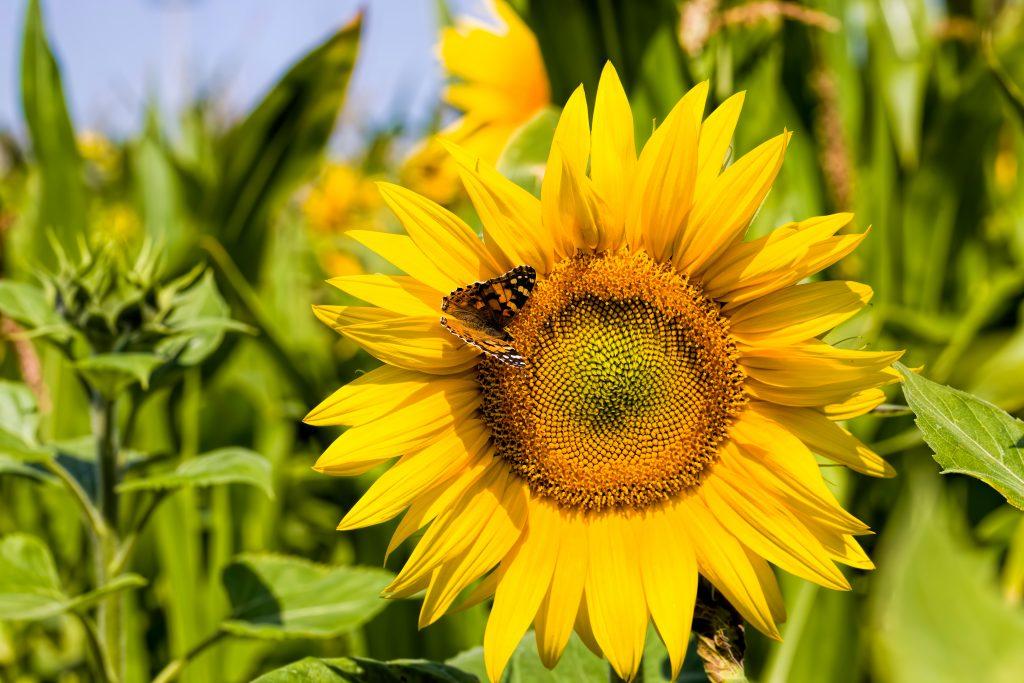 Sunflowers Field Image