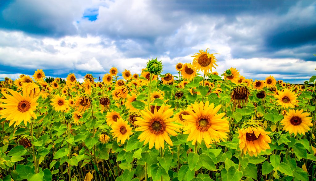 Sunflowers Field Wallpapers